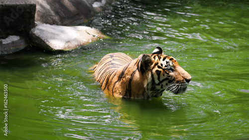 Large bengal tiger that swimming in the pond find food and fish