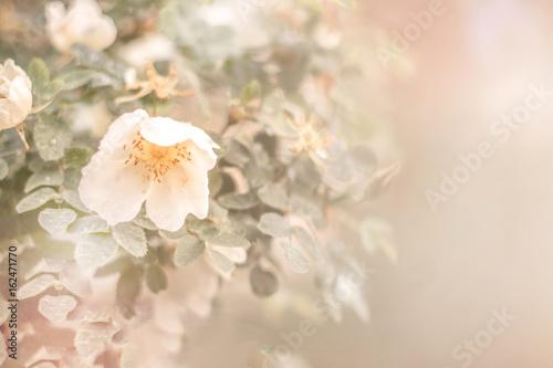 Briar flowers