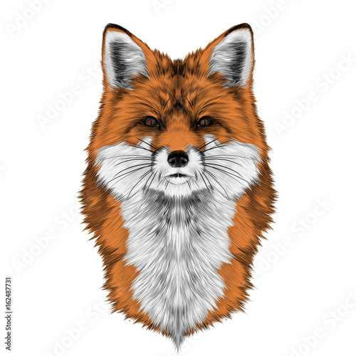 Fototapeta Fox head front looking directly sketch vector graphics color picture