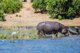 Hippopotamus shallow near shore of the river - 162500982