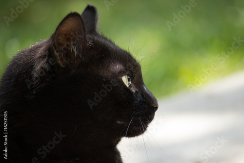 Foto op Aluminium Panter Black Cat in the Garden