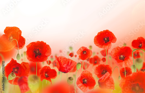 Beautiful poppy background, close-up.