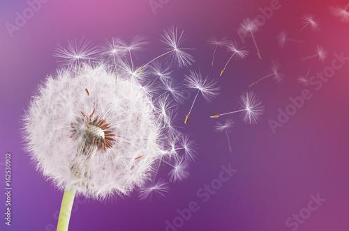 Dandelion flying on pink background