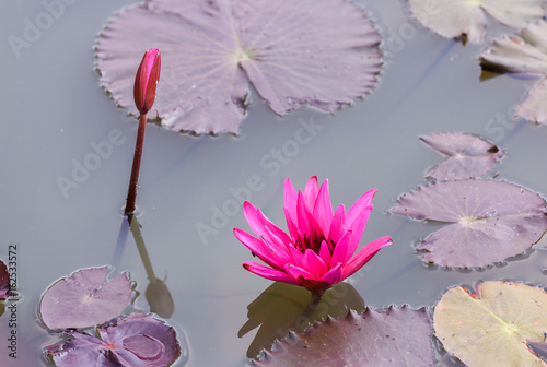 Water lilly blooming in pond. Poster