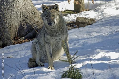 DER WOLF - Der einsame Jäger Poster