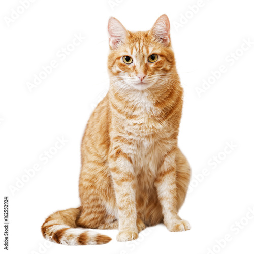 Ginger cat sits and looks directly in camera Poster