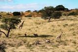 Safari in Kgalagadi Transfrontier Park, South Africa - 162556741