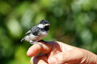 Young Black capped Chickadee