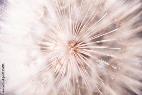Big dandelion close up