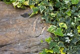 green ivy climbing on the rock wall