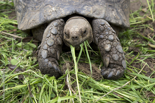 Tortoise eating grass