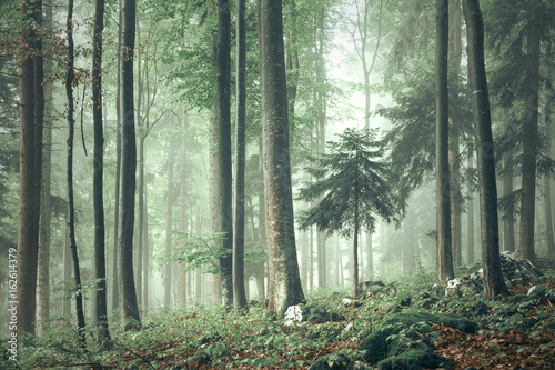 Beautiful foggy forest tree landscape.