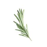 Rosemary herb spice. Vector illustration of a rosemary - 162641135