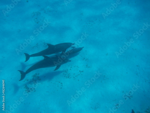 Dolphin Family close Mnemba Island, Zanzibar Island, Tanzania, Indian Ocean, Africa