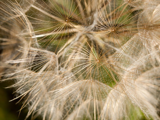 intact close up white dandelion head detail