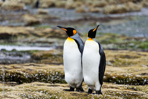 Foto op Canvas Antarctica King penguins