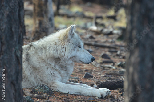 Vibrant White Wolf Resting In The Wild