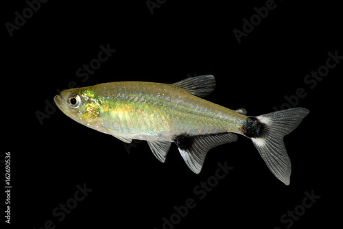 Panda Tetra Dawn Tetra Aphyocharax paraguayensis freshwater aquarium fish