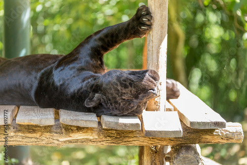 Fotobehang Panter Black jaguar sleeping with its back up side down and belly up with paws on the deck pole - Panthera onca