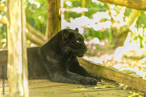 Foto op Aluminium Panter Black jaguar staring and observing on a wooden deck - Panthera onça