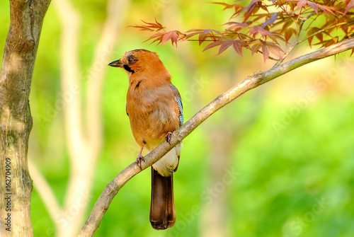 Poster Beautiful bird Jay sitting on a tree branch