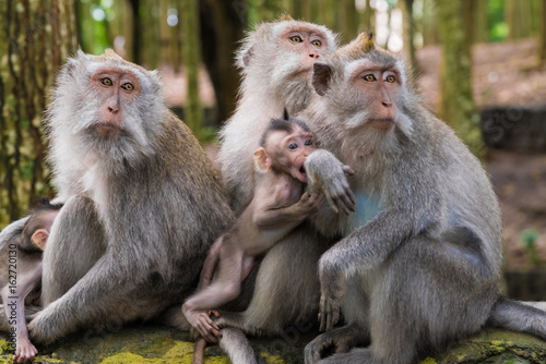 Fotobehang Aap Macaque monkeys with cubs at Monkey Forest, Bali, Indonesia