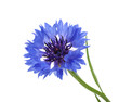 Leinwanddruck Bild - Cornflower isolated on white without shadow