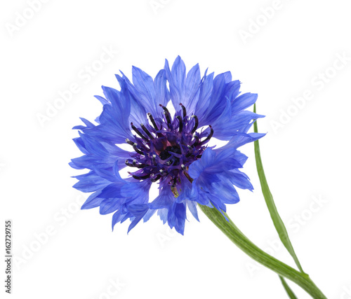 Leinwanddruck Bild Cornflower isolated on white without shadow