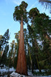 Giant trees in Kings Canyon National Park