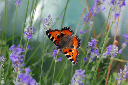 Butterfly in Lavender Plant