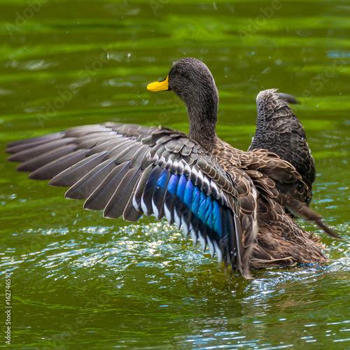 Behavior of wild ducks at a small lake