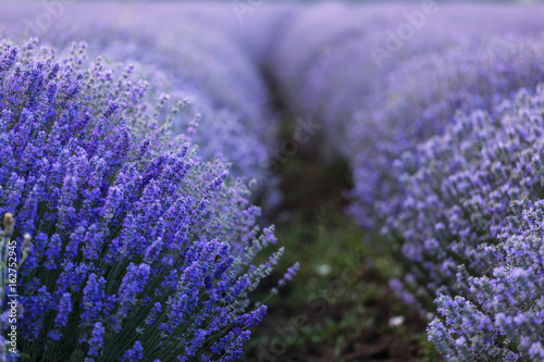 Foto op Canvas Lavendel Beautiful and colourful lavander field