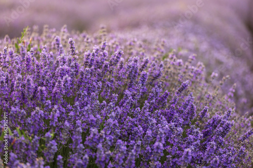 Foto op Canvas Violet Beautiful and colourful lavander field