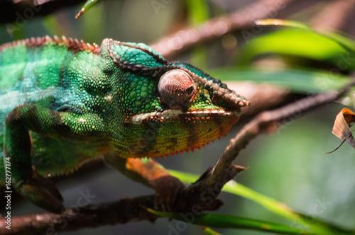 chameleon up close