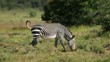 Cape mountain zebra (Equus zebra) walking in natural habitat, Mountain Zebra National Park, South Africa