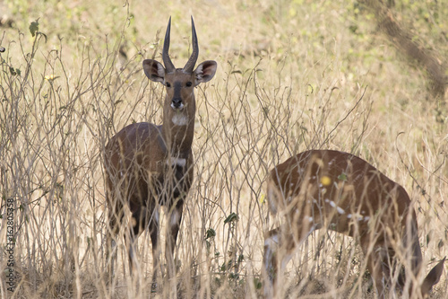 In de dag Zanzibar Male bushbok antelope which stands amid low bush and grass in shrub savannah