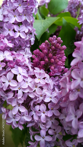 Beautiful blossoming lilac flowers