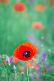 Beautiful close up in poppy field. Spring summer nature background concept. Inspirational and relaxing flowers nature background. Soft focus, bokeh background.