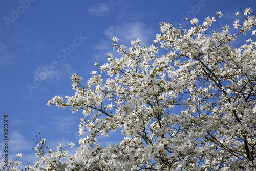 Blossom on Tree Branches in Spring; Stockholm