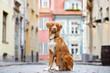 nova scotia duck tolling retriever dog posing in the city