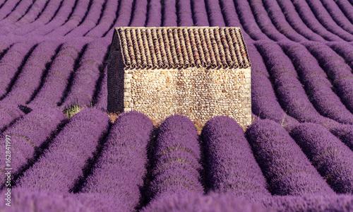 maisonnette dans un champs de lavande
