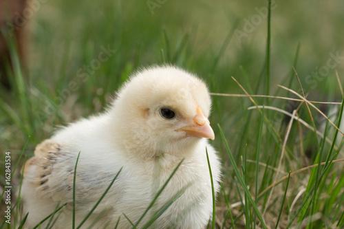 Yellow chicken on green grass.