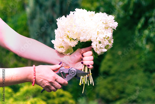 Woman cut a bouquet of flowers white hydrangeas with pruning scissors