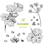 Coriander plant, flowers,  leaves and seeds vector hand drawn illustration - 162856788