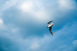 One river gull flies over the lake against a background of thunderclouds in cloudy weather