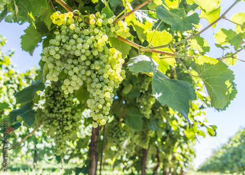 Wine grapes on the vine.