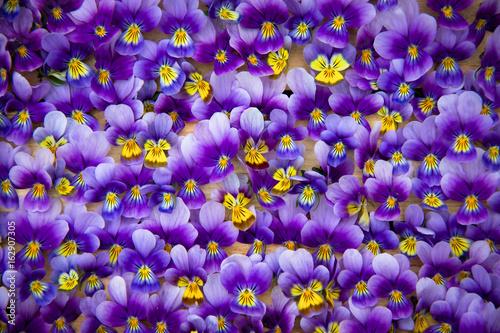 Violets. - 162907305