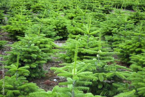 Tannenbaum Plantage für den Weihnachstverkauf   in Schleswig-Holstein, Deutschland