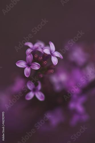 Spring Light Purple Lilac Blooms