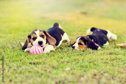 Young Beagles playing together in garden